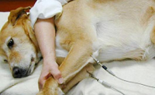 Elektrokardiografie beim Hund - neben der Herzultraschalluntersuchung ein weiteres diagnostisches Mittel zur Erkennung von Herzerkrankungen