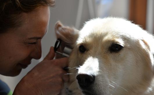 Eingehende Untersuchung der Ohren beim Hund