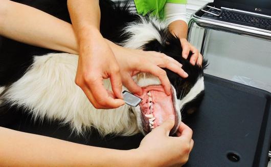 Einlegen des Röntgenfilms beim Hund zur Erstellung einer dentalen Röntgenaufnahme