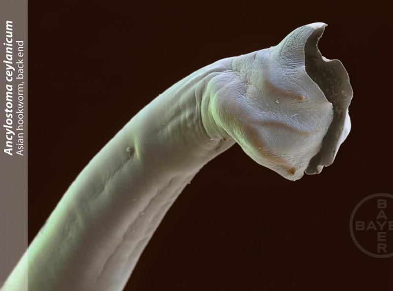 Bild Hakenwurm