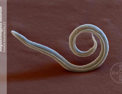 Reiseparasitosen: Der Lungenwurm – Angiostrongylus vasorum