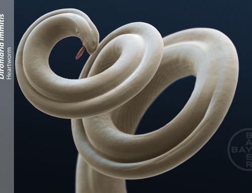 Reiseparasitosen: Der Herzwurm