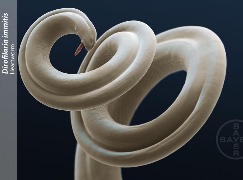 Bild Herzwurm